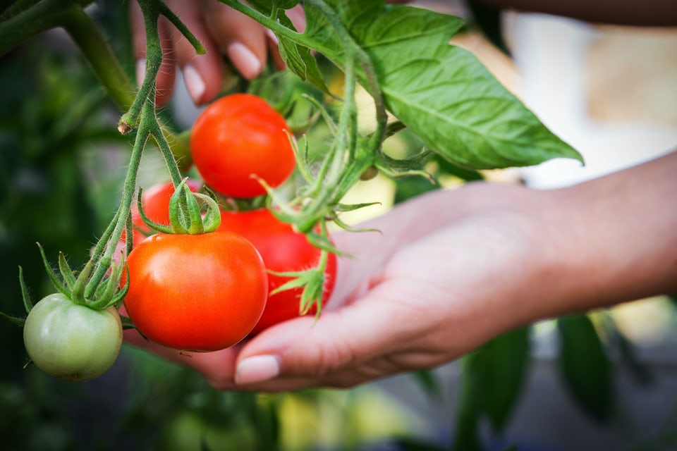Kvinna håller tomat med stjälk