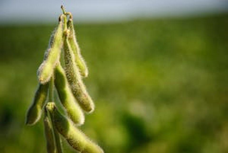 Soya bønner plante